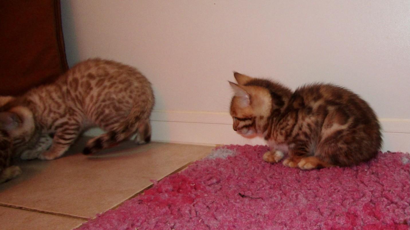 Shitake et femelle 1 à 8 semaines...