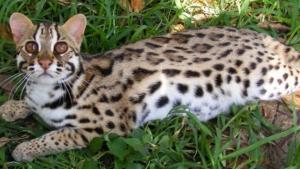 Asian cat leopard